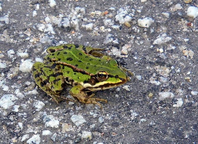 Zielone światło dla żabki!