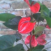 Anturium Andreego czerwone z fioletowym noskiem ;)