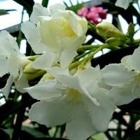 Biały oleander o delikatnym aromacie.