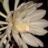 Epiphyllum Oxyp.   5 O O O - MAŁO  CZY  DUŻO ?