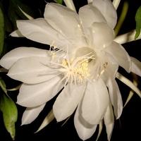 Epiphyllum Oxypetallum .