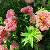 Inwazja motyli :)