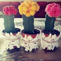 kolorowe kaktusiki