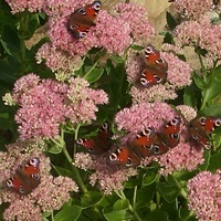 Liczymy motylki...