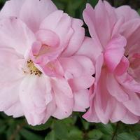 Moja róża i 2600zdjęcie