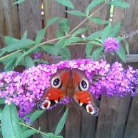 Motyl i budleja