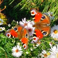 Motylkowe wariacje. ..