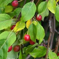 Ozdobna rajska jabłoń