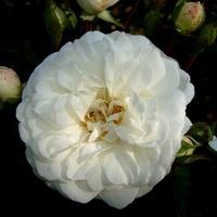 Róża - ' Trier ' .