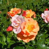 Róże-   Rose