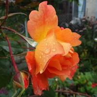 Róże nie poddają się :)