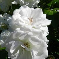 Róże  -  Rose