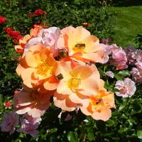 Róże-Wrocławski Ogród Botaniczny
