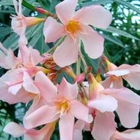 Różowy oleander o b.silnym aromacie.
