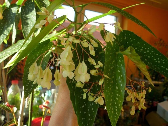 Białe kwiatuszki begonii.