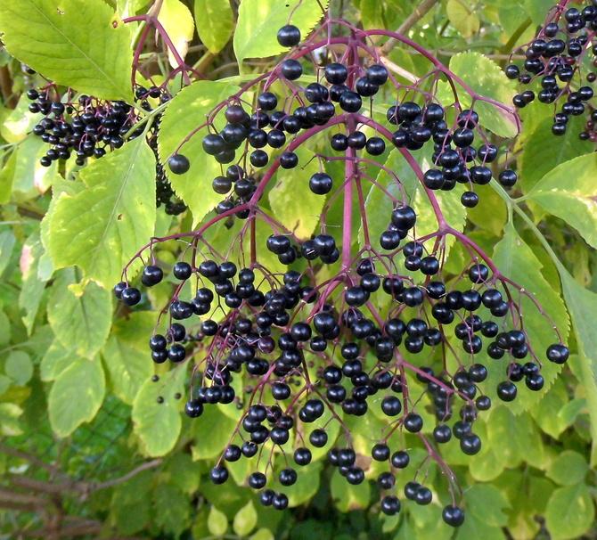 Czarne owoce