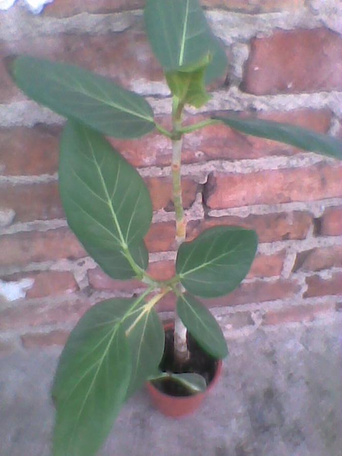 Fikus bengalski-Ficus benghalensis