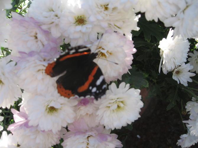 Jesienny motylek.