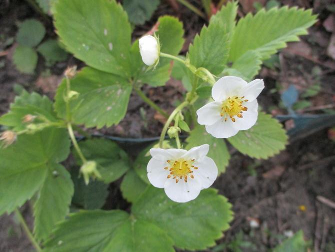 Kwitnąca truskawka