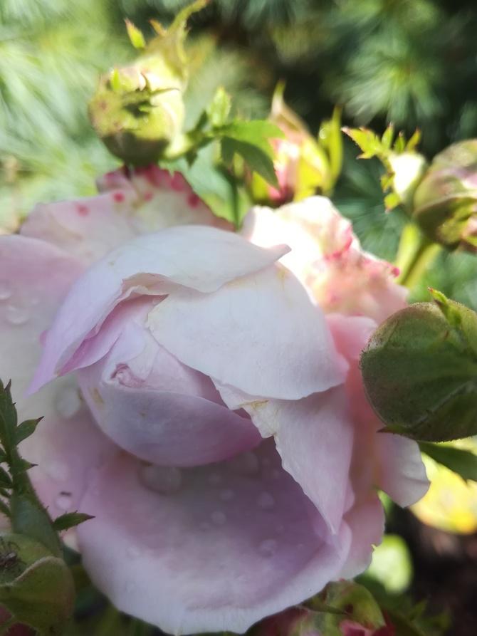 Różyczka czy zdążę zakwitnąć.......