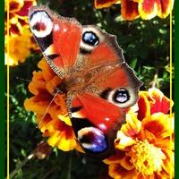 Aksamitki z motylkiem