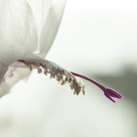 Biały smok