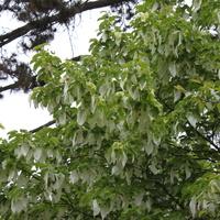 Chusteczkowe drzewo Dawidia