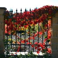 Dzikie wino na eleganckim ogrodzeniu