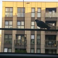 Gołąb w mieście ;)