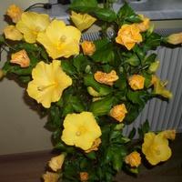 Hibiskus o cytrynowych kwiatach.