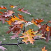 Jesienne liście dębowe