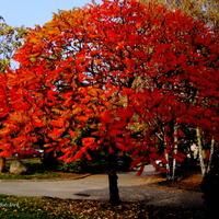 Jesienny sumak na moim osiedlu