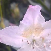 Jest kwiat na różaneczniku :)