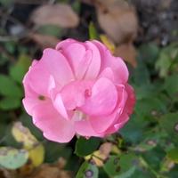 jeszcze różowa mi kwitnie