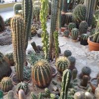 Kaktusy .....