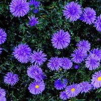 Kwiaty jesienne, marcinki