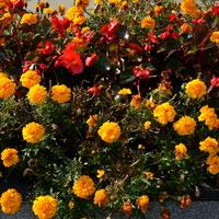 Kwietnik jesienny