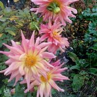 Kwitną mimo nedznej pogody