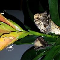 Motylki caligo sowy