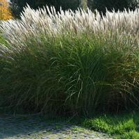 Ozdobna trawa w parku