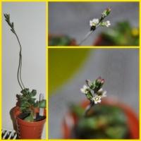 Pierwsze kwitnienie