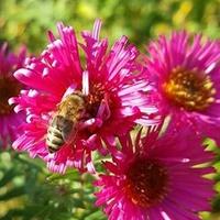 Pszczółka .....