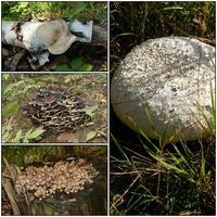 W lesie,grzyby trujące