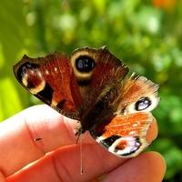 Wróciły motylki:)