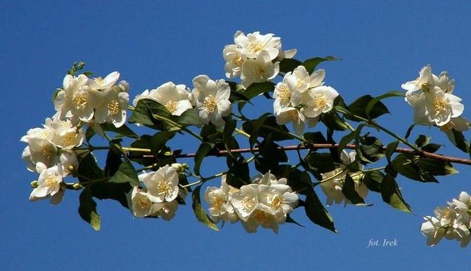 Gałązka z białymi kwiatami.