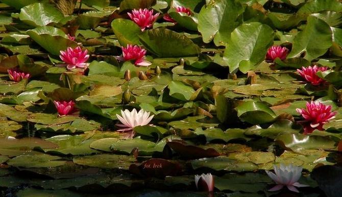 Lilie wodne na niedzielę z liliami