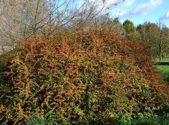 Berberys, krzew jesienny