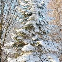 Biały śnieg na choince.