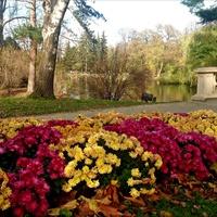 Chryzantemowe rabaty w parku