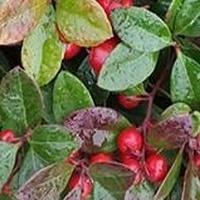 Czerwone jagódki